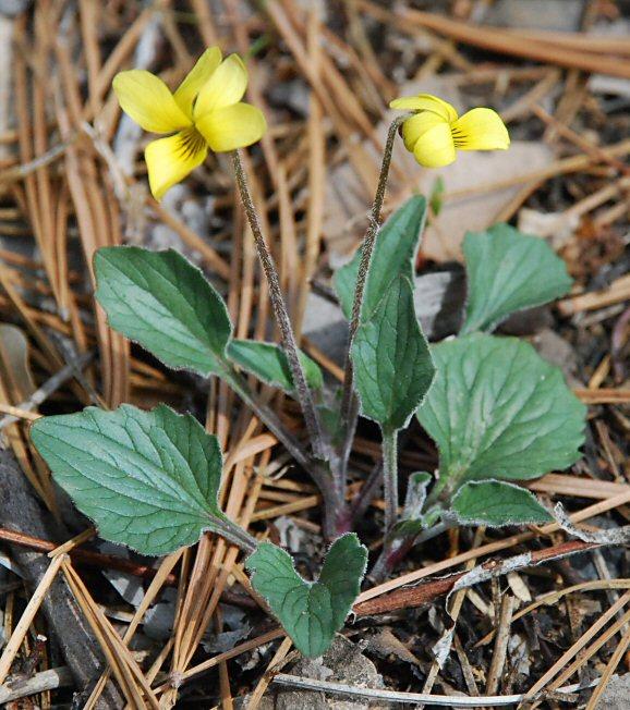Viola purpurea ssp. quercetorum