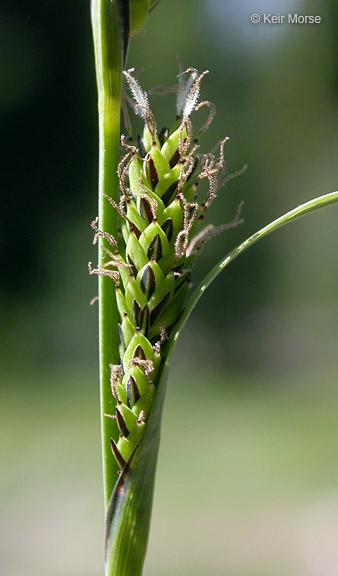 Carex aquatilis var. aquatilis