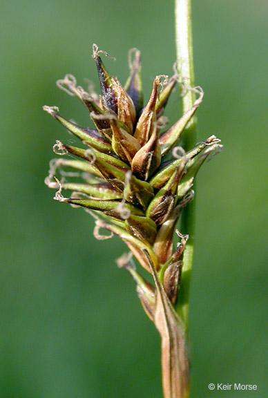 Carex luzulina var. ablata