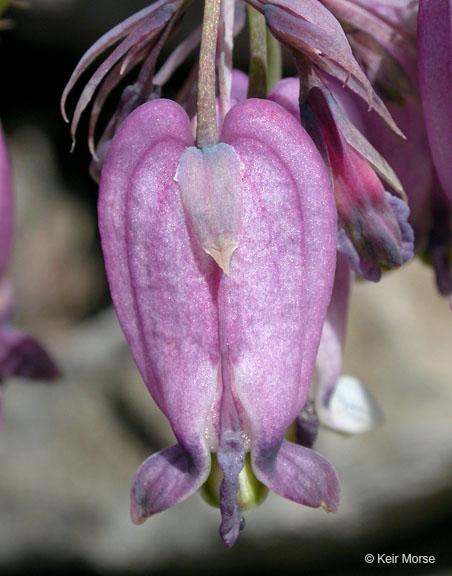 Dicentra formosa ssp. formosa