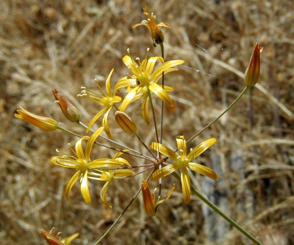 Bloomeria crocea image