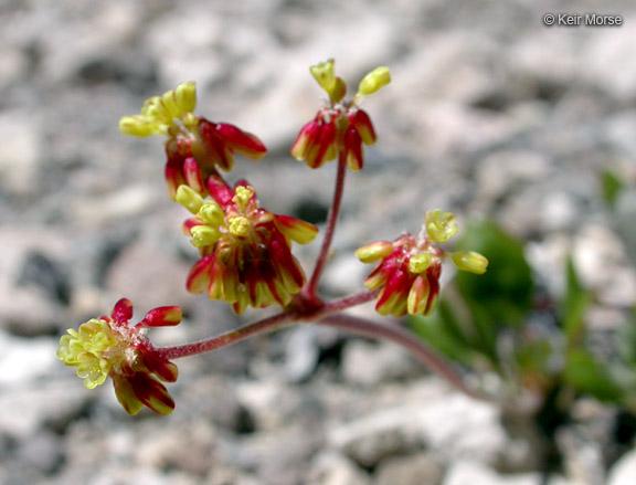 Eriogonum marifolium var. marifolium
