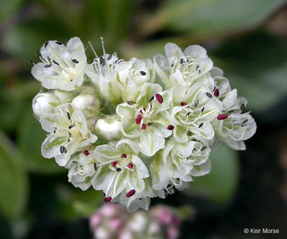 Eriogonum pyrolifolium var. coryphaeum