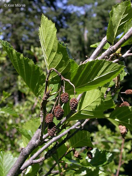 Alnus viridis ssp. sinuata