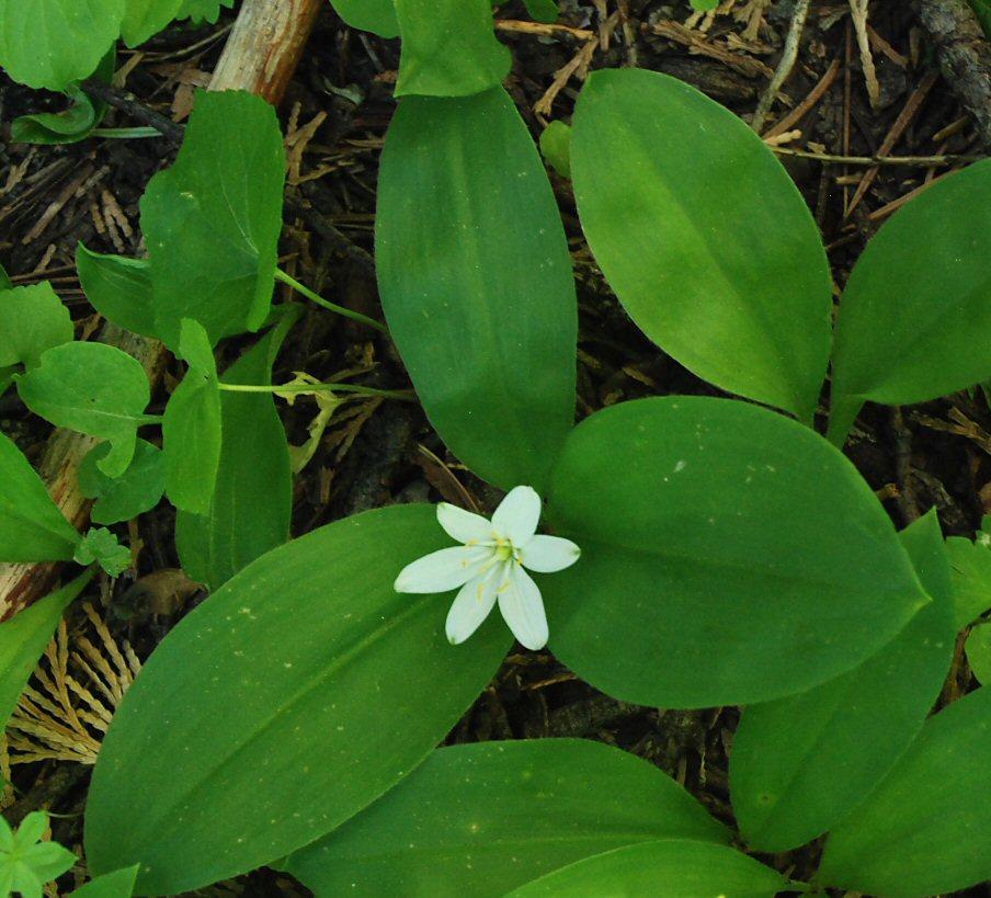 Clintonia uniflora