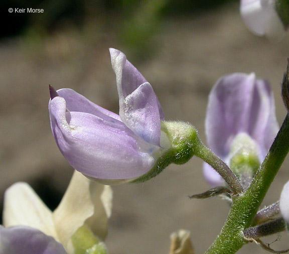 Lupinus andersonii
