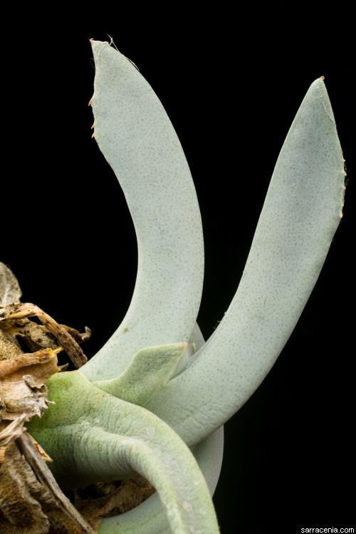 Cheiridopsis image