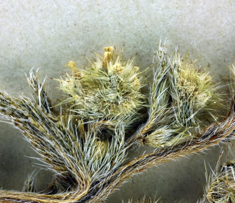 Cryptantha glomeriflora