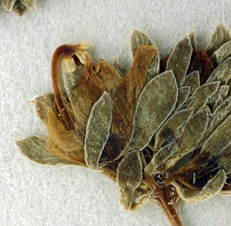 Nemacladus californicus