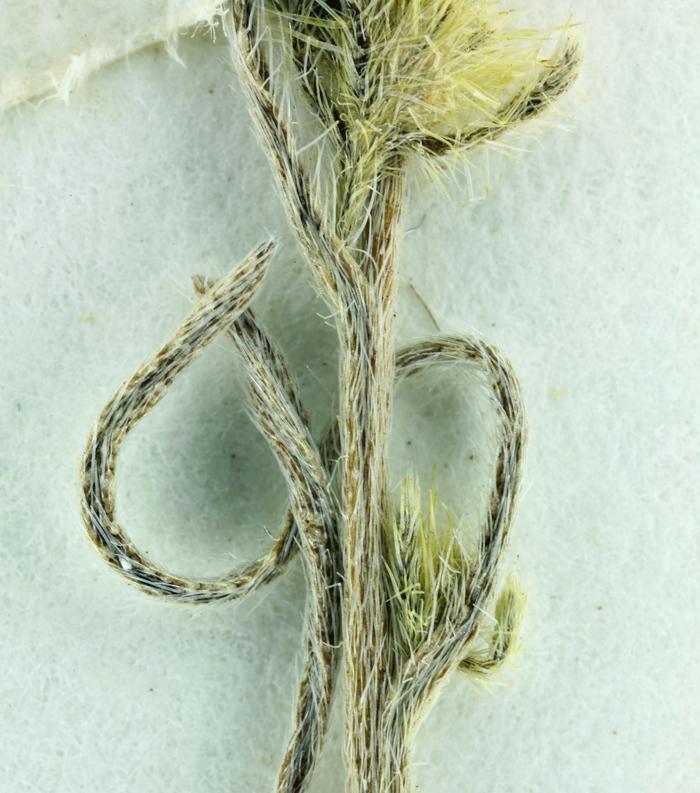 Cryptantha hooveri