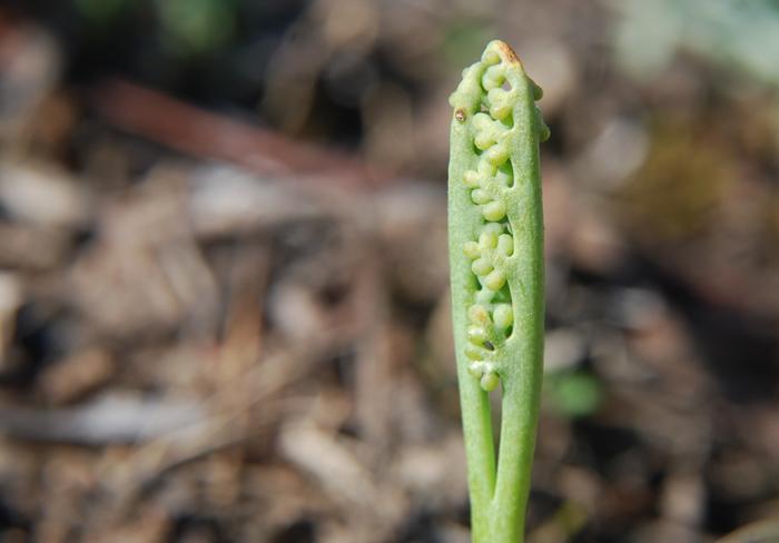 Botrychium paradoxum
