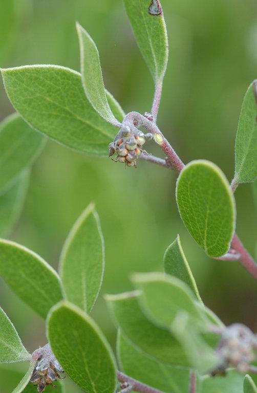 Arctostaphylos hookeri ssp. hookeri