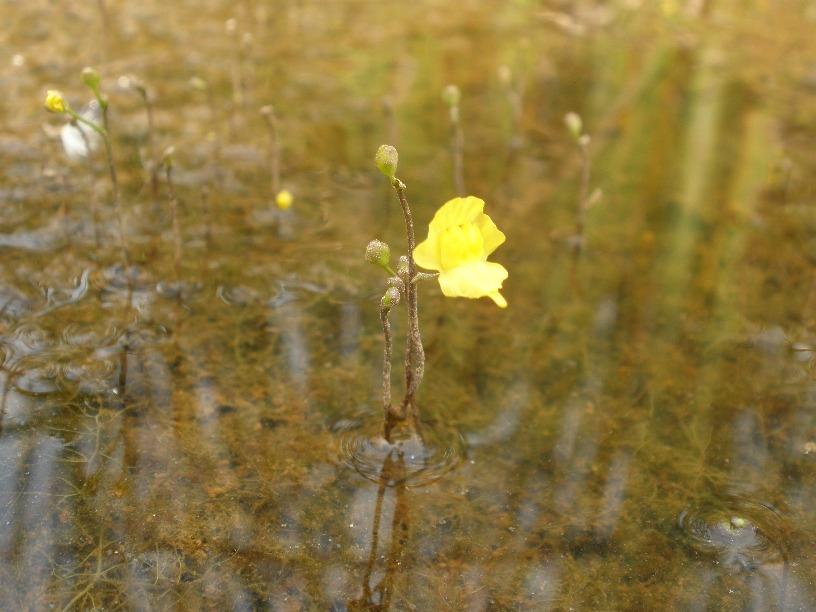 Utricularia gibba