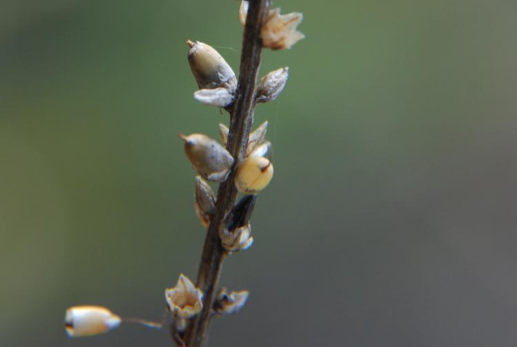Plantago eriopoda