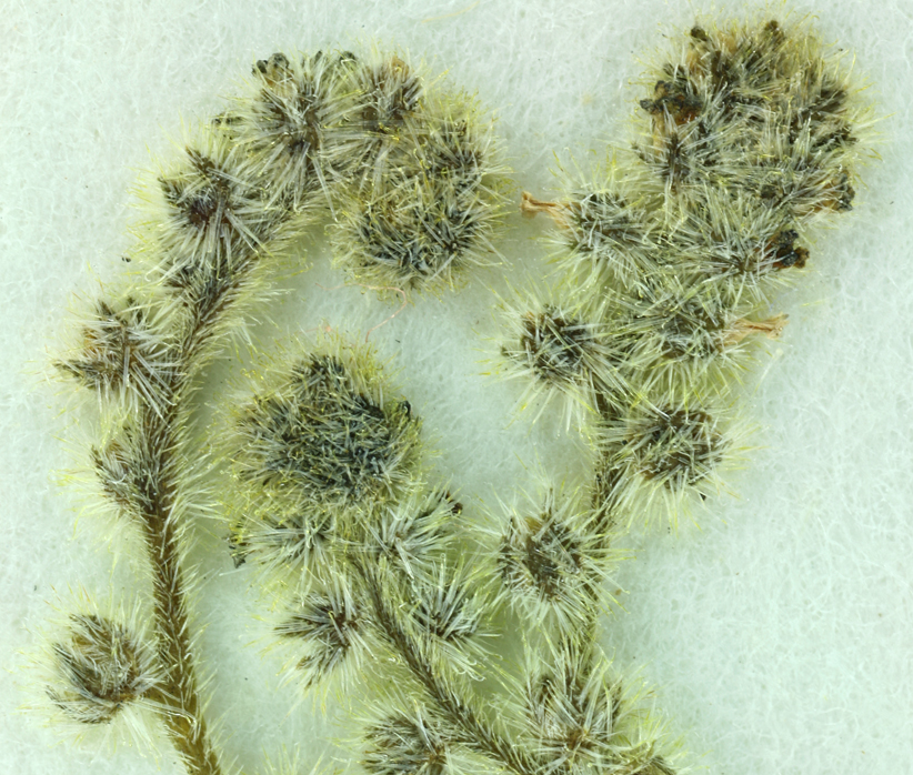 Cryptantha micromeres