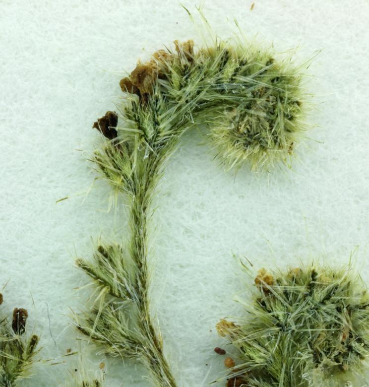 Cryptantha sparsiflora