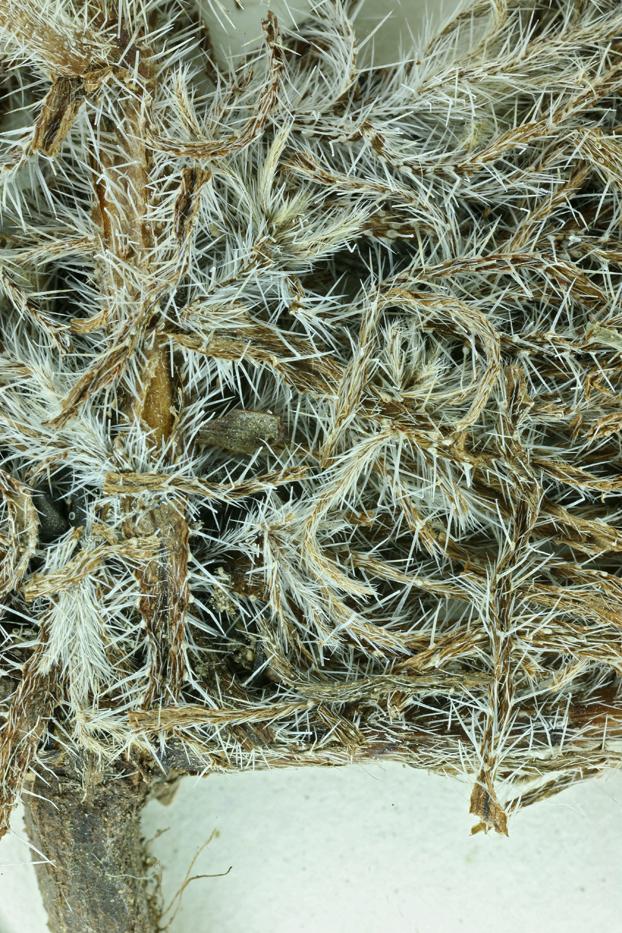 Cryptantha clevelandii var. florosa
