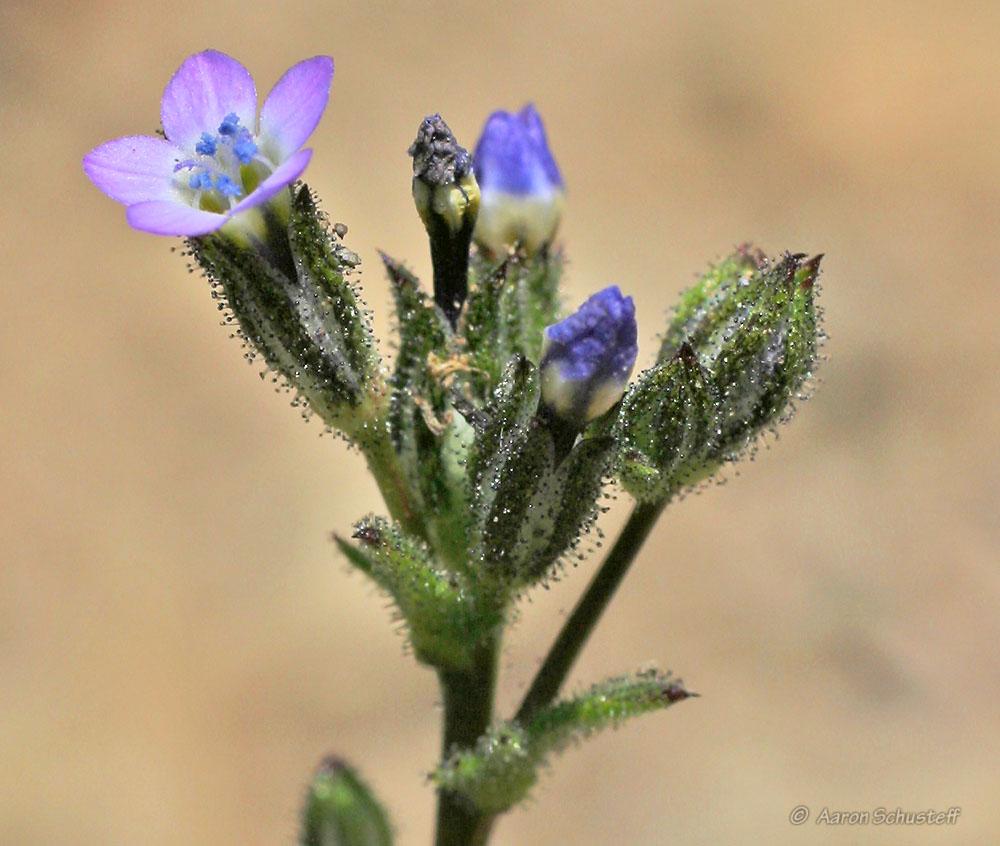 Gilia brecciarum ssp. brecciarum