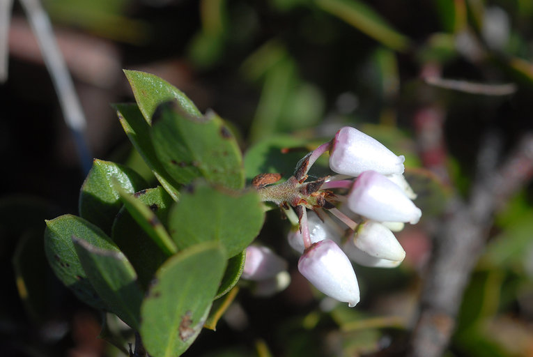 Arctostaphylos hookeri ssp. hearstiorum