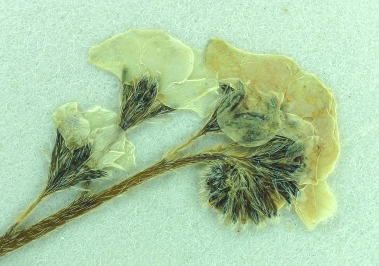 Plagiobothrys chorisianus var. hickmanii