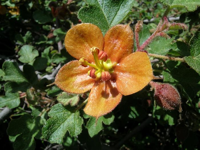 Fremontodendron californicum ssp. decumbens