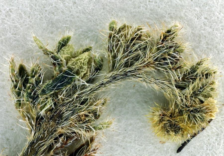 Plagiobothrys scouleri var. cusickii