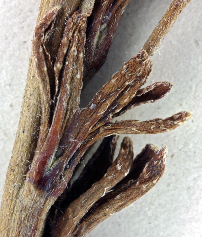 Plagiobothrys glaber