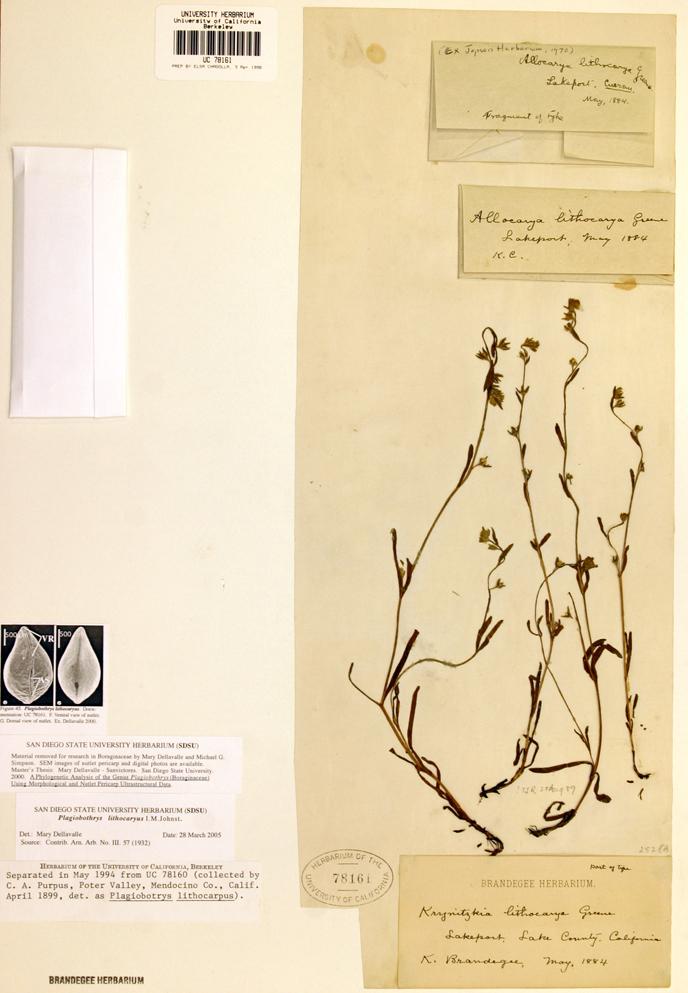 Plagiobothrys lithocaryus