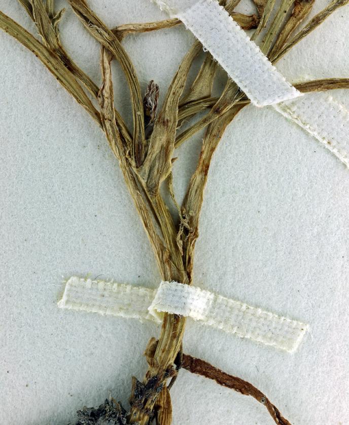 Plagiobothrys nitens