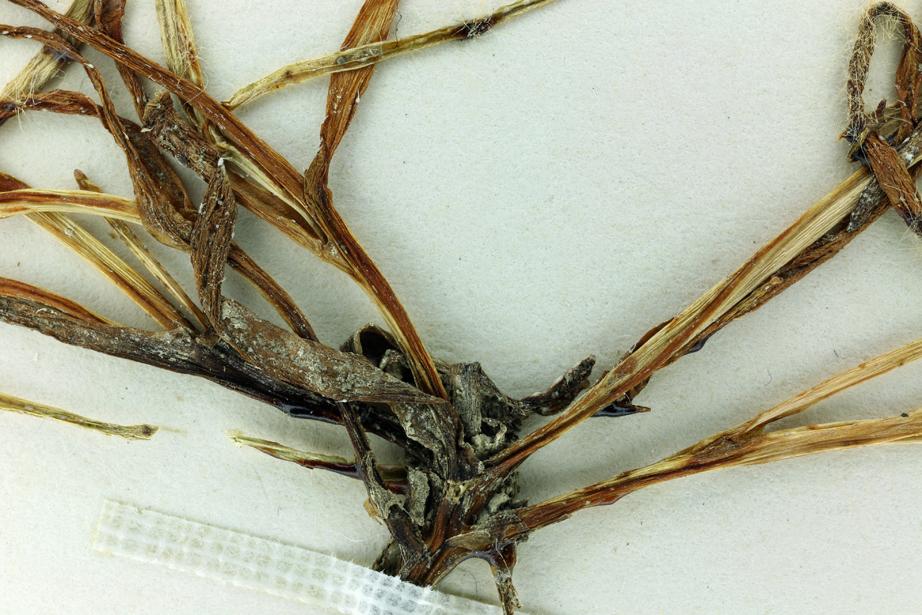 Plagiobothrys tener var. subglaber