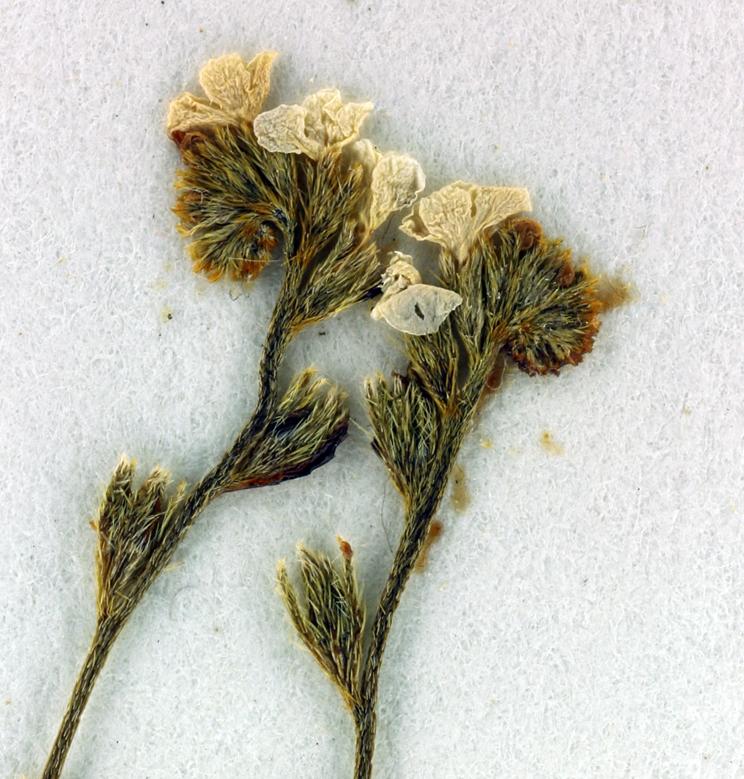Plagiobothrys tener var. tener