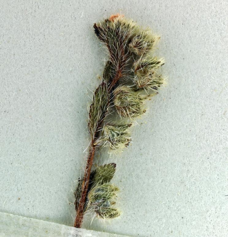 Plagiobothrys torreyi var. torreyi