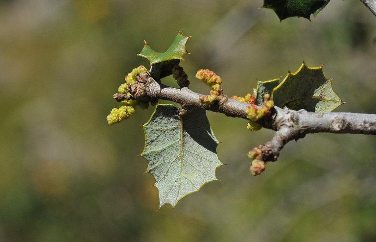 Quercus palmeri