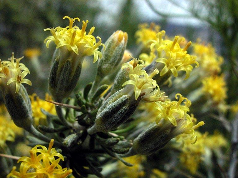 Tetradymia axillaris var. longispina