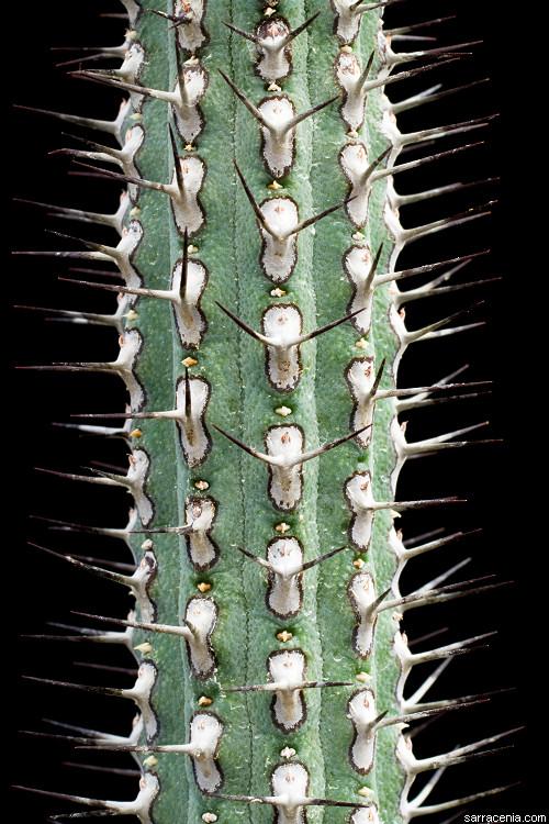 Euphorbia baioensis image
