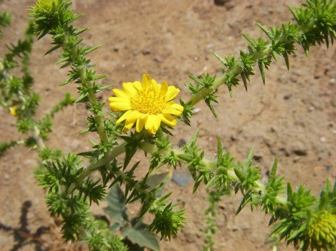 Centromadia pungens ssp. pungens