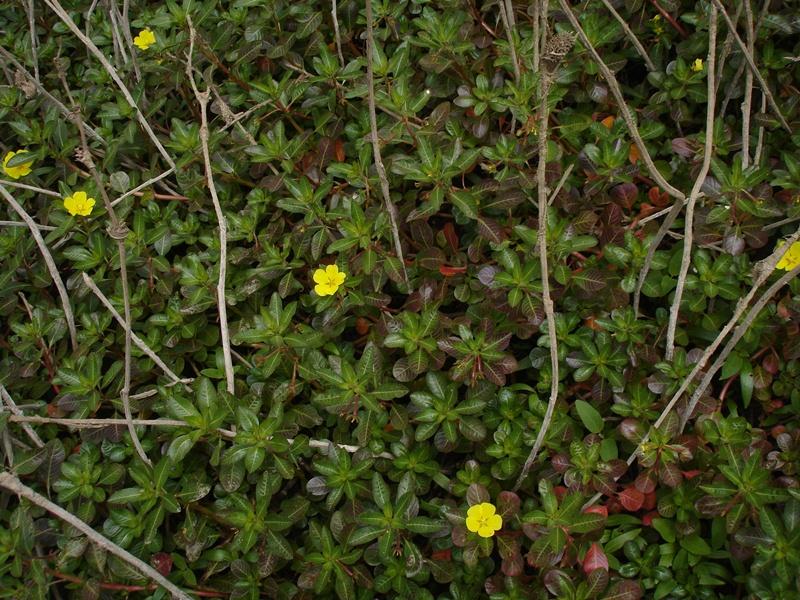 Ludwigia peploides ssp. montevidensis