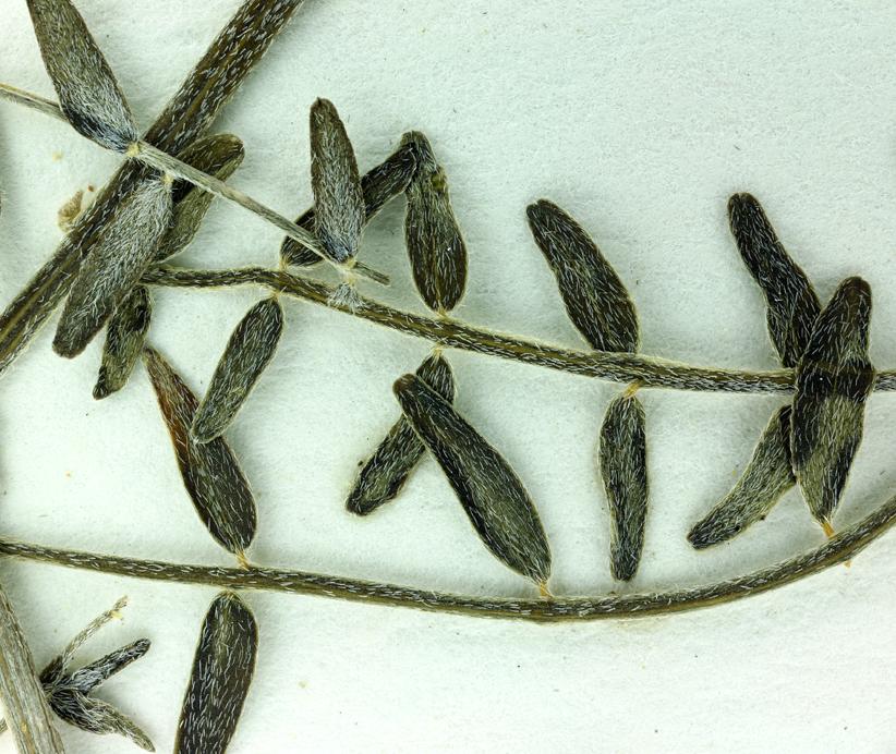 Astragalus bernardinus
