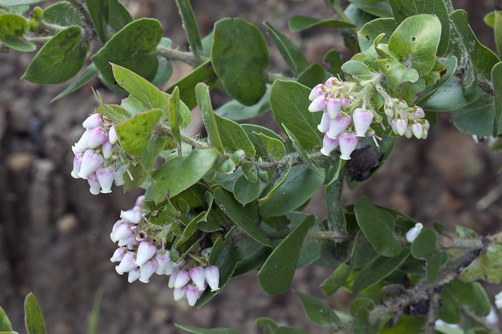 Arctostaphylos pechoensis