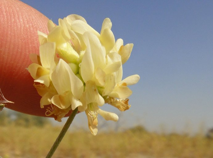 Astragalus hornii