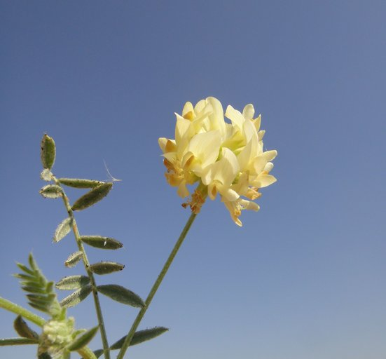 Astragalus hornii var. hornii
