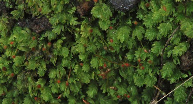 Fissidens sublimbatus