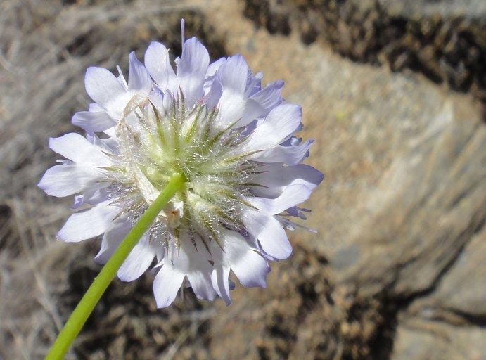 Gilia capitata ssp. abrotanifolia