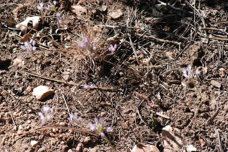 Allium parryi
