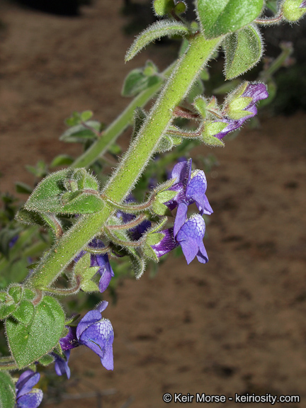 Antirrhinum nuttallianum ssp. nuttallianum