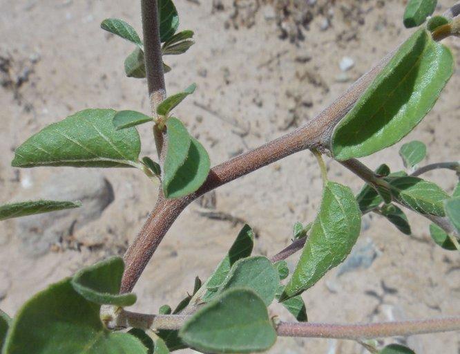 Colubrina californica