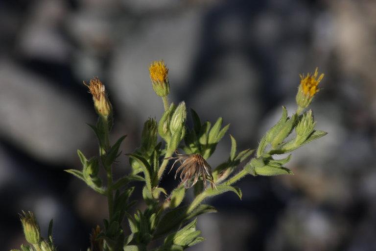 Heterotheca oregona var. rudis