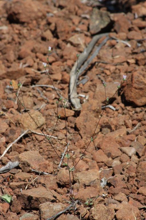 Hesperolinon drymarioides