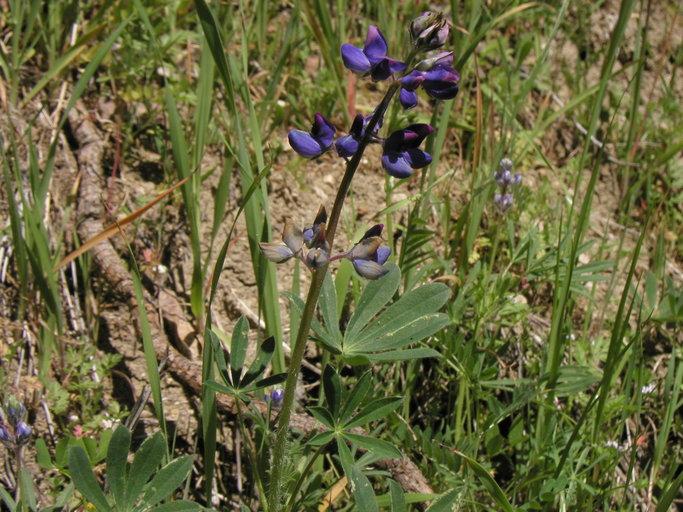 Lupinus affinis