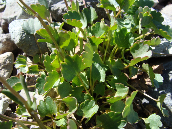 Ranunculus eschscholtzii var. oxynotus
